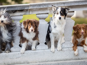 Old English Sheepdog, Australian Shepherd, railing, Border Collie, stone, Dogs, four, Retriever Nova Scotia