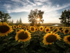trees, Field, River, Sunrise, viewes, Nice sunflowers