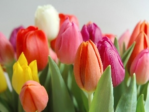 color, Tulips