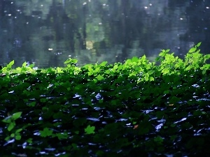ivy, water