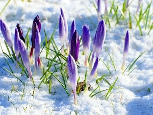 winter, purple, crocuses