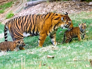 young, tigress, mother